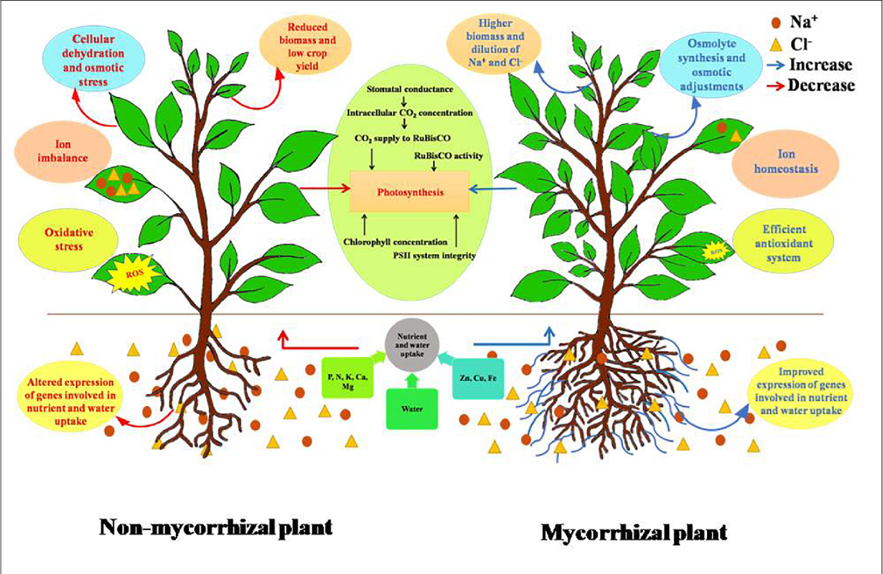 Mycorrhizal Symbiosis -The Incredible Relationship of Fungi and Plants