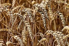 Growing Ancient and Modern Wheat (and a Yale Farm Overview)
